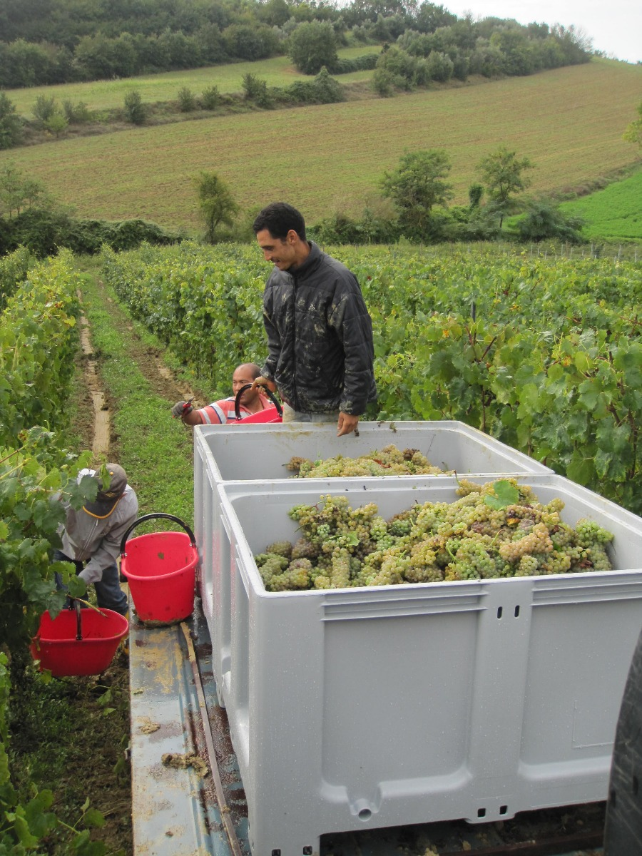 Hicham Harvesting the Grechetto