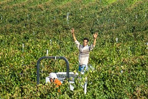 This is my kingdom.  Hicham looks after the vineyards all year round so Harvest is a very special time.